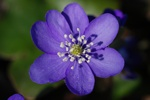 Hpatique ( trois lobes), Anmone hpatique (Hepatica nobilis)